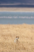 This was a rare sight: a cheetah in the Ngorongoro Crater.