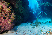divers spot a nurse shark, Ginglymostoma cirratum, resting in the groove or valley of a spur and groove formation at Mata dive site on the Belize Barrier Reef, Ambergris Caye, Belize, Central America (Caribbean Sea)