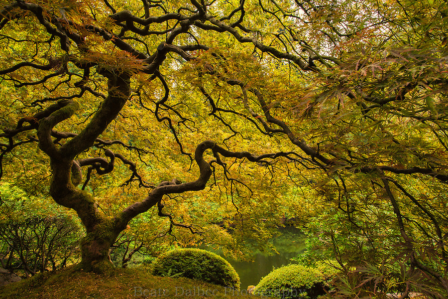 Japanese maple tree in the Portland Japanese Garden