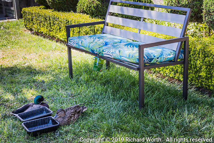 A bench with cusions sits on the front lawn of home while a mated pair of Mallards nestle in the grass waiting for the homeowner to come and sit and maybe toss them a treat or two.