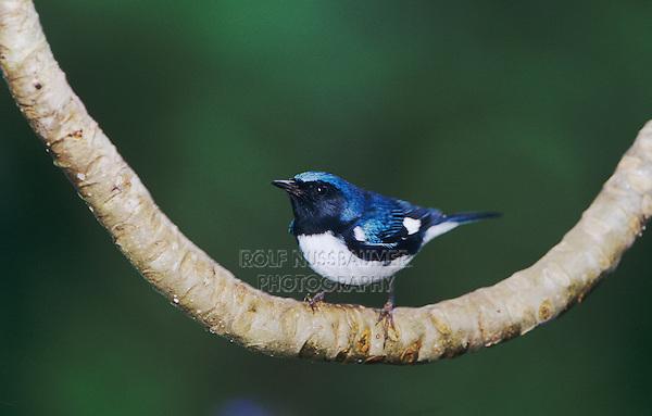 Black-throated Blue Warbler, Dendroica caerulescens,male, Rocklands, Montego Bay, Jamaica, January 2005