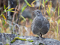 This blue grouse was found near Hellroaring.