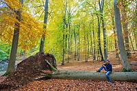 Mann sitzt auf einem umgestürzten Baum, Buchenwald Grumsiner Forst, Weltnaturerbe der UNESCO, Angermünde, Uckermark, Brandenburg, Deutschland