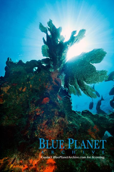 sea fan, Gorgonia sp., Minnow Caves, Key Largo, Florida Keys National Marine Sanctuary, Florida, Atlantic Ocean