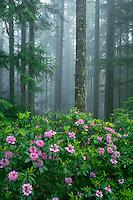 Western rhododendron on Mt. Walker<br /> Mt. Walker Road<br /> Olympic National Park<br /> Jefferson County, Washington