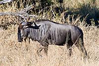 Gnu aka Blue Wildebeest, Kruger NP, SA
