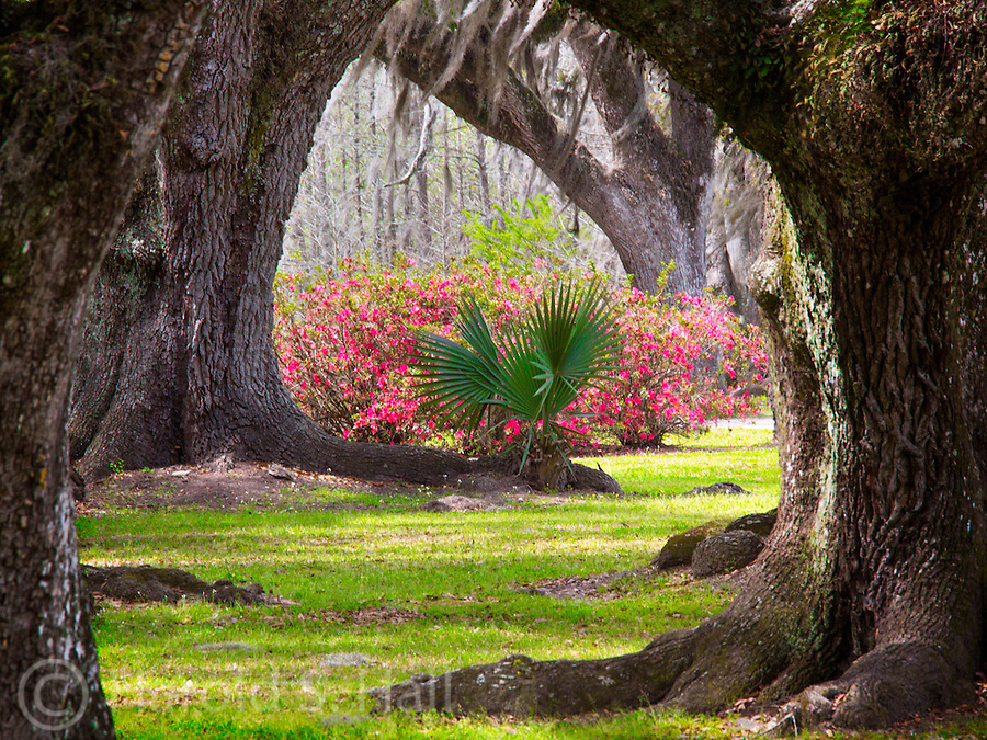 Spanish moss and a palm tree in a Louisiana forest.