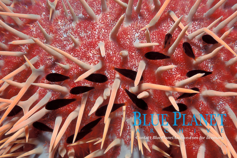 cardinalfish, Siphamia versicolor, living among spines of crown-of-thorns starfish or sea star, Indo-Pacific Ocean