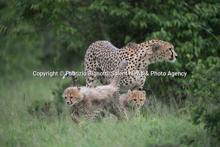 SEQUENCE 9 OF 15:  A young cub takes a tumble as he tries to crawl up his mother's back.  The small African cheetah falls on its paws after being shoved to the ground by its jealous sibling.<br /> <br /> Wrestling each other on the uncut grass, the cubs try to grab their mother's attention.  Amateur photographer Fabrizio Bignotti captured the cubs playing near their mother at Masai Mara National Reserve, Kenya.  SEE OUR COPY FOR DETAILS.<br /> <br /> Please byline: Fabrizio Bignotti/Solent News<br /> <br /> © Fabrizio Bignotti/Solent News & Photo Agency<br /> UK +44 (0) 2380 458800