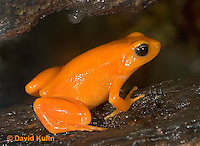 1102-07uu  Mantella aurantiaca - Golden Mantilla - © David Kuhn/Dwight Kuhn Photography