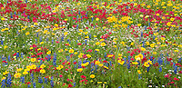 980000002 panoramic field of wildflowers with brilliant red drummonds phlox phlox drummondii and other wildflowers including some texas bluebonnets lupinus texensis in de witt county texas