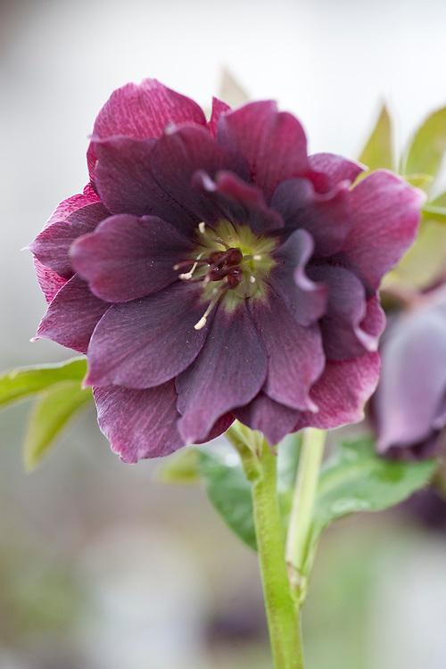 Hellebore (Helleborus hybridus 'Harvington Double Purple'), mid March.