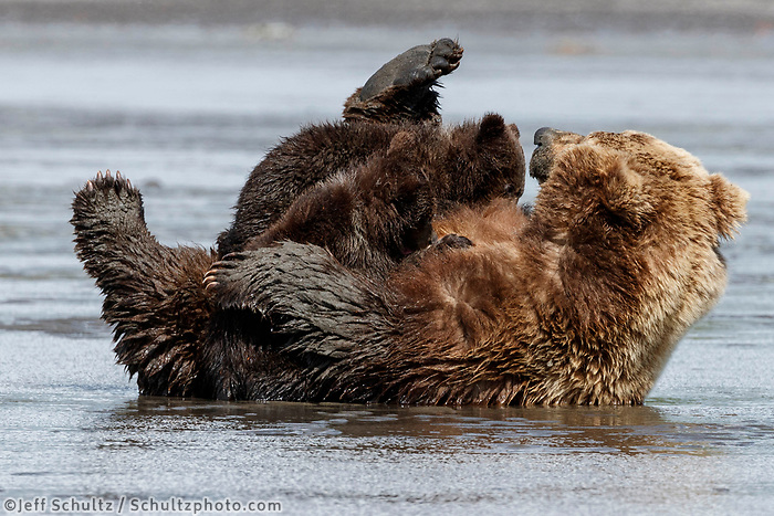 Brown Bears sow nurses cubs in water/mud on Cook Inlet shoreline in Lake Clark National Park.  Silver Salmon Creek area. Western Alaska  Summer<br /> <br /> Photo by Jeff Schultz/  (C) 2020  ALL RIGHTS RESERVED
