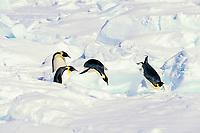 emperor penguins, Aptenodytes forsteri, leaping off snow bank, Cape Washington, Antarctica