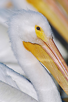 American White Pelican, Pelecanus erythrorhynchos, adults, Rockport, Texas, USA, December 2003
