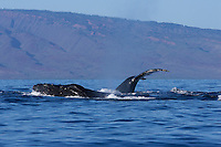 Humpback whales migrate to Hawai'i every winter; this one was seen near Maui and Lana'i.