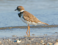 Adult semipalmated plover in non-breeding plumage on beach at Bolivar Point,TX in September