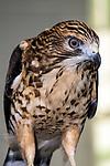 Broad winged hawk medium shot facing 45 degrees to camera