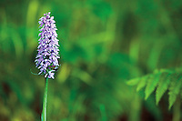 Common Spotted Orchid, Shore Wood, Loch Lomond National Nature Reserve, Loch Lomond and the Trossachs National Park