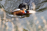 Pix: Shaun Flannery/sf-pictures.com..COPYRIGHT PICTURE>>SHAUN FLANNERY>01302-570814>>07778315553>>..19th December 2008...............Loversall 'game shoot' in Doncaster, South Yorkshire..A black Labrador swims across a river after retrieving a Pheasant.