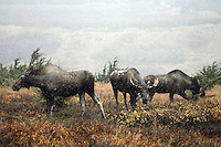 Bull Moose with his harem during Fall rut in Chugach Mountains, Chugach State Park, Alaska.