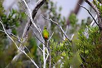 Orange-bellied Parrot in Melaleuca, Tasmania