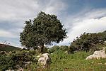 T-037 Mastic tree in Hurbat Mamlach