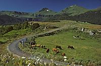 Europe/France/Auvergne/15/Cantal/Parc Naturel Régional des Volcans/Env de le Poux: Le massif du Puy Mary, vaches et pâturages