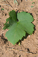 Local grape variety Shesh. vine leaf. Cobo winery, Poshnje, Berat. Albania, Balkan, Europe.