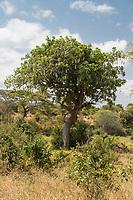 Tanzania. Tarangire National Park, Sausage Tree (Kigelia africana).