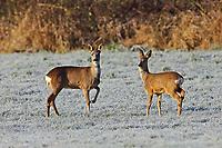 Europäisches Reh, Rehwild, Reh-Wild, Rehe, Capreolus capreolus, European roe deer, western roe deer, roe deer, Le chevreuil