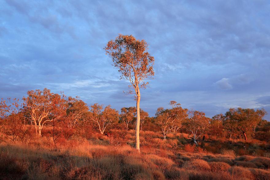 Gum tree in Karijini National Park. Western Australia.