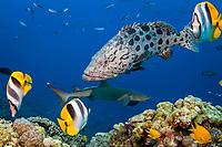 potato cod or potato groper, Epinephelus tukula and whitetip reef shark, Triaenodon obesus, North Horn, Osprey Reef, Coral Sea Marine Park, Queensland, Australia, Coral Sea, Pacific Ocean, Coral Sea, South Pacific Ocean