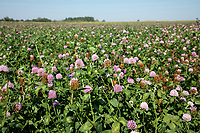 Clover cover crop - Lincolnshire, September