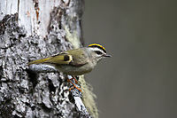 Golden-crowned Kinglet (Regulus satrapa). Deschutes County, Oregon. May.
