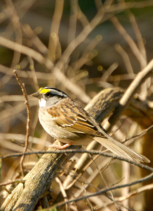 This species of sparrow is often seen, and more commonly heard on White Mountain mountain tops. This male White-throated Sparrow is looking sharp in his spring plumage, ready to attract a mate.