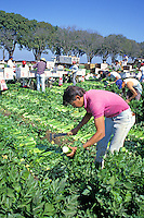 Hispanic migrant workers working celery harvest, Salinas, California