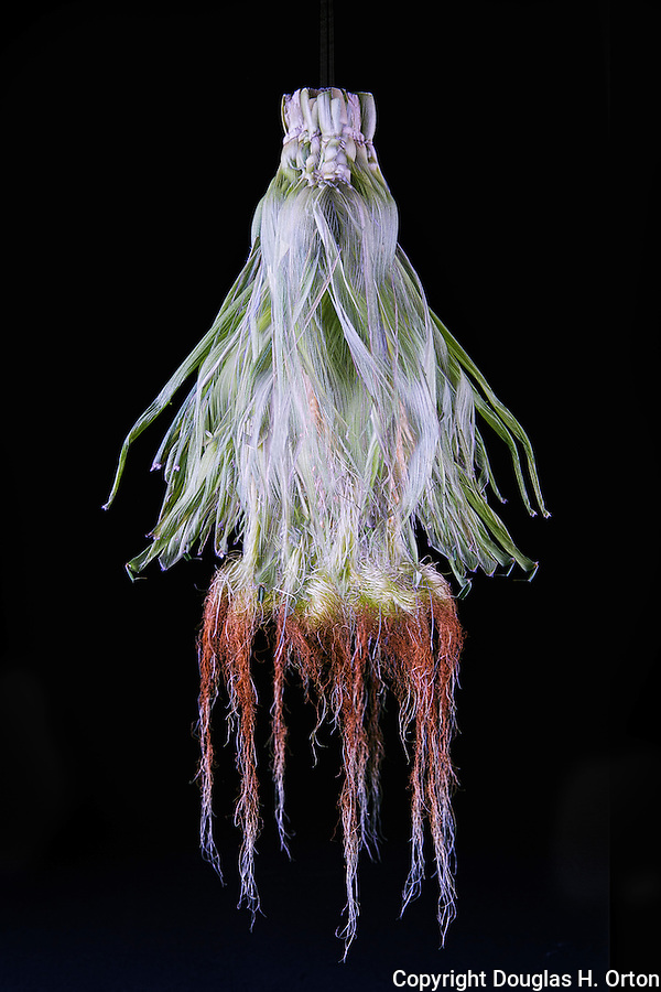 Multiple exposure image of single ear of corn with husk and silk.