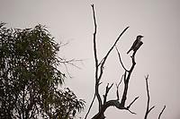 Kookaburra in Yanchep National Park, Australia.