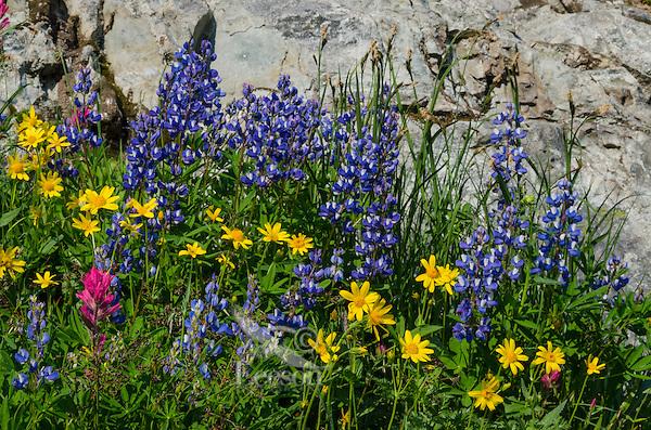 Wildflowers--lupine, arnica and paintbrush--in subalpine meadow, Mount Rainier National Park, WA.  Summer.