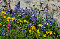 Wildflowers--lupine, arnica and paintbrush--in subalpine meadow, Mount Rainier National Park, WA.  Summer.