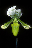 Paphiopedilum Maudiae (album form) Orchid Ladyslipper hybrid