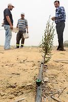EGYPT, Ismallia , Sarapium forest in the desert, the trees are irrigated by treated sewage water from Ismalia, new Cypress plantation with drip irrigation / AEGYPTEN, Ismailia, Sarapium Forstprojekt in der Wueste, die Baeume werden mit geklaertem Abwasser der Stadt Ismalia bewaessert, kahl geforstete Flaeche, Neupflanzung mit Zypressen mit Troepfchenbewaesserung