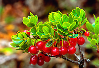 Bright red ohelo berries found in the volcano area of the Big island and commonly made into jams