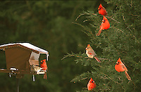 Northern Cardinals, Cardinal cardinalis in a cedar tree waiting for the bird feeder in winter