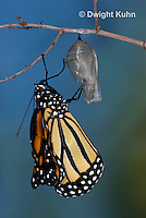 MO04-502B    Monarch emerging from chrysalis,  Danaus plexipuss