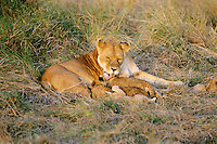 Female african lion (Panthera leo) nursing young.  Serengeti National Park, Tanzania.
