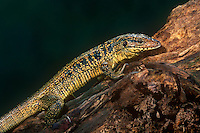 478774003 a captive golden tegu tupinambis teguixin poses on a large log - species is native to tropical forests of south america