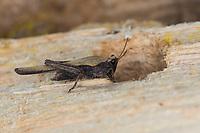 Säbel-Dornschrecke, Säbeldornschrecke, Dornschrecke, Tetrix subulata, Tetrix subulatum, Acrydium subulatum, Slender Ground-hopper, Slender Groundhopper, awl-shaped pygmy grasshopper, Slender Grouse Locust, Tétrix riverain, Tétrix subulé, Dornschrecken, Tetrigidae, grouse locusts, pygmy locusts, groundhoppers, pygmy grasshoppers