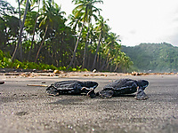 leatherback sea turtle hatchlings, Dermochelys coriacea, running towards the ocean, Dominica, Caribbean, Atlantic Ocean